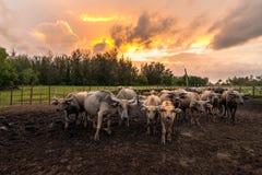 泰国水牛城在日落的槽枥 水牛有身分在槽枥 库存图片