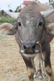 泰国水牛画象 免版税库存照片