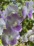 泰国紫色兰花 图库摄影