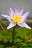 泰国紫色莲花 库存照片