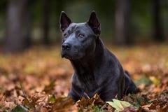 泰国Ridgeback狗在地面上说谎 免版税库存照片
