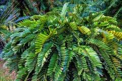 泽米属Furfuracea或纸板苏铁科的植物 免版税库存照片
