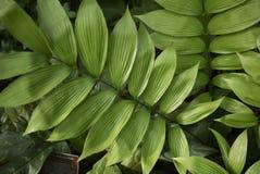 泽米属skinneri植物 库存照片