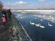 泽蒙喂养天鹅的` s邻居在冻多瑙河 库存照片