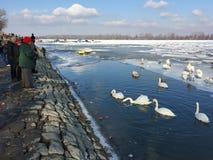 泽蒙喂养天鹅的` s邻居在冻多瑙河 库存图片