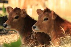 泽西小牛 库存图片