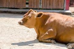 泽西母牛在一个动物园里 免版税图库摄影