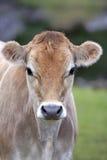 泽西母牛小牛头  免版税库存照片