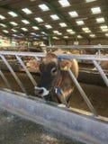 泽西母牛站立在谷仓的,泽西,香奈儿海岛,英国 免版税库存照片