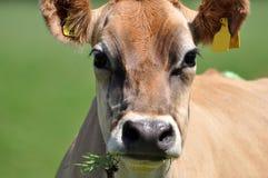 泽西母牛画象  库存图片
