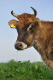 泽西母牛 免版税库存照片