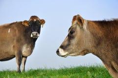 泽西母牛 库存图片