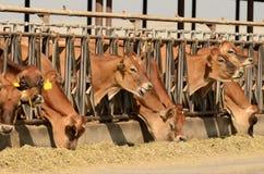 泽西母牛 免版税库存图片