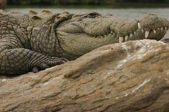 泽鳄河 免版税库存图片