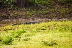 泽鳄鳄鱼湾鳄palustris在斯里兰卡 免版税图库摄影