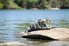 泽鳄鳄鱼 免版税库存图片