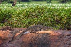 泽鳄(沼泽)鳄鱼,斯里兰卡 免版税库存照片