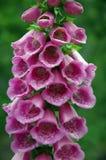 洋地黄毛地黄属植物purpurea 库存照片