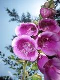 洋地黄毛地黄属植物purpurea 库存图片
