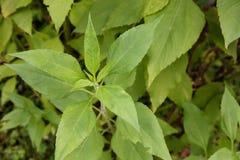 洋姜植物 免版税库存照片