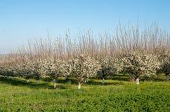 洋李线在美丽的果树园 库存照片