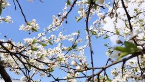 洋梨树绽放
