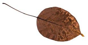 洋梨树腐烂的干叶子的后部  库存照片