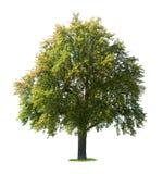 洋梨树 库存图片