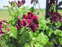 洋红色开花的盆的厂容器 库存图片