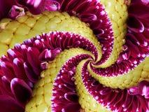 洋红色黄色花螺旋摘要分数维作用样式背景 花卉螺旋抽象样式分数维 难以置信的花 免版税库存图片