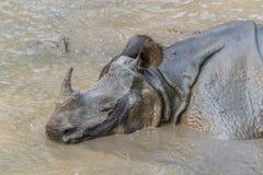 洗泥浴的犀牛 免版税库存照片