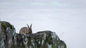 洗澡的兔子海湾苏格兰HD 股票录像