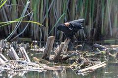 洗鸟浴的美洲红翼鸫 免版税库存图片