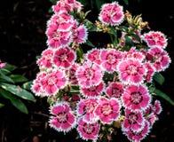 洛阳花或印地安桃红色在中华我的庭院的石竹 库存图片