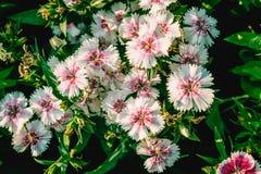 洛阳花或印地安桃红色在中华我的庭院的石竹 库存照片