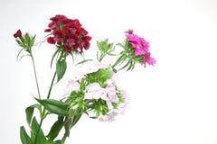洛阳花花束在白色背景中 图库摄影