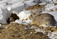 洞穴棉尾巴兔子 免版税库存图片