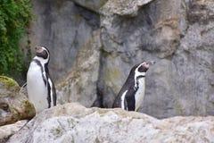洪堡企鹅两鸟动物园 免版税库存照片