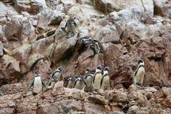 洪堡企鹅在秘鲁 免版税库存照片