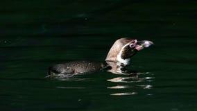 洪堡企鹅游泳 库存图片