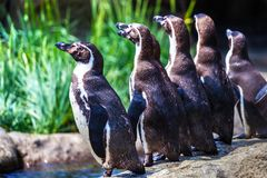洪堡企鹅群坚持水的边缘的 免版税图库摄影