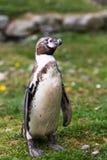 洪堡企鹅,笨拙在土地,但是不费力的游泳者,鱼雷型身体为高效率移动设计在水中 免版税库存照片