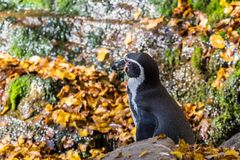 洪堡企鹅,蠢企鹅humboldti在动物园里 免版税库存图片