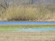 洪水区域和鹅鸟,立陶宛 免版税库存照片
