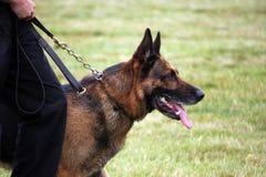 活动准备好狗的卫兵 免版税库存图片
