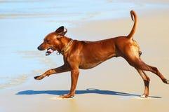 活动狗 免版税库存图片