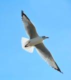 活动飞行海鸥 库存图片