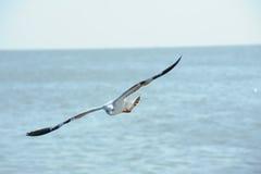 活动飞行海鸥 免版税图库摄影
