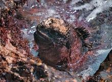 活动鬣鳞蜥海军陆战队员 免版税库存照片