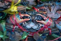 活女性巨型泥捉蟹赛拉serrata 免版税库存照片